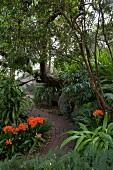 Geschwungener Pflasterweg mit blühenden Clivien in subtropischem Garten
