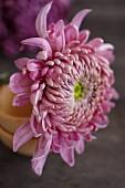Pinkfarbene Asternblüte (Nahaufnahme)