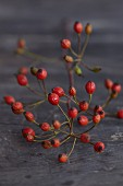Rose hip sprig
