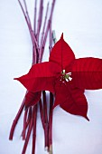 A poinsettia and red dogwood twigs