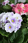 German primroses of different colours (close-up)