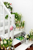 White wooden staircase decorated for Easter with many pots of flowering narcissus and hyacinths and egg ornaments