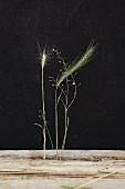 Ähren und Gräser vor schwarzem Hintergrund