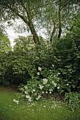 A bush of flowering 'Iceberg' rose in a garden