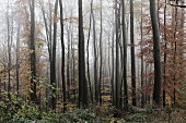 Misty autumnal beech forest in the Spessart mountains (Germany)
