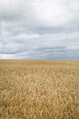Field of ripe wheat under cloudy sky