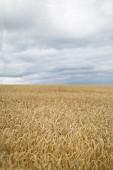 Reifes Getreidefeld mit bewölktem Himmel