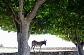 Donkey and stone wall in shade under green trees