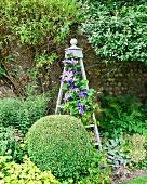 Buchsbaumkugel vor Rankgerüst mit lila blühender Clematis