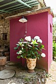 Hydrangea in planter on roofed terrace against fuchsia-pink façade