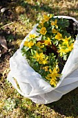 Yellow-flowering winter aconites (Eranthis hyemalis) in white plastic bag