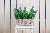 Pflanzkasten mit lila blühenden Gartenblumen auf Vintage Stuhl vor weißem Holzzaun