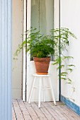Asparagus fern in terracotta pot on stool in hallway