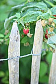 Raspberries growing next to wooden fence in cottage garden