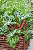 Red-stemmed Swiss chard growing in raised bed edged by woven iron rods