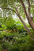 Birch trunks above Przewalski's golden ray and giant rhubarb (Gunnera tinctoria) in garden
