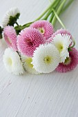 Posy of bellis on white surface