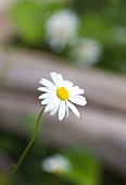 A chamomile flower