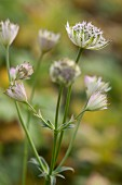Close-up of white astrantia