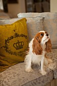 Small dog sitting in front of scatter cushion on sofa