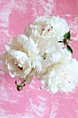 Top view of vase of white peonies