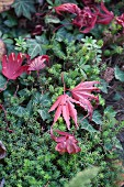 Brightly coloured autumnal leaves lying on green ground-cover plants
