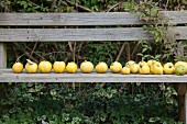 Row of quinces on wooden bench in garden