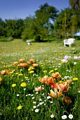 Orange tulips, dandelions and daisies growing in flowering spring meadow