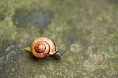 Snail with yellow and brown spiral shell on stone