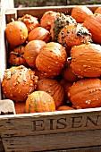 Knucklehead pumpkins in wooden crate
