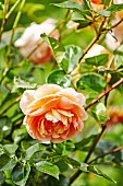 Apricot-colored rose blossom; 'Lady of Shallot, David Austin Rose'