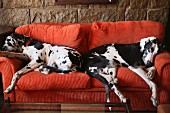 Two black and white Great Danes on red couch