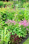 Flowering astrantia and other perennials in summery garden