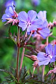 Purple-flowering cranesbill (Geranium pratense 'Dark Reiter')
