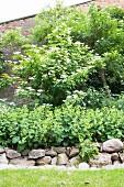 Frauenmantel und Holunderstrauch in einem Beet mit Natursteinmauer