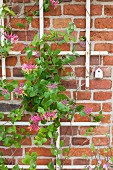 Honeysuckle growing over trellising on brick wall