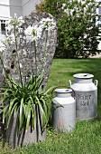 Vintage Milchkannen und weisser Agapanthus in Pflanzgefäss vor verwittertem Stein