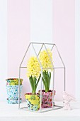 Yellow hyacinths in terracotta pots covered in colourful fabrics in miniature greenhouse