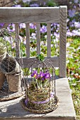 Crocuses under wire cage on rustic garden bench