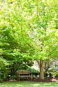 Wooden bench under maple tree in the garden