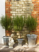 Rosemary standards in aluminium pots and stone cherub against brick wall