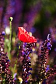 Red poppy and lavender