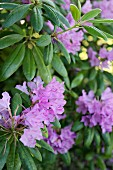 Purple-flowering rhododendron