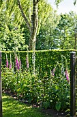 Flowering foxgloves, garden hedge and birch trunk