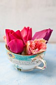 Tulips flowers of various colours in vintage teacup