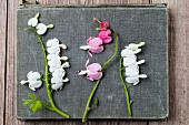 White and pink bleeding heart flowers (Lamprocapnos spectabilis)