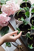 Propagating hydrangeas from cuttings in paper pots