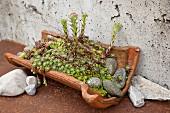Houseleeks in vintage terracotta tile