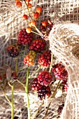 Rose hips nd blackberries on rough burlap
