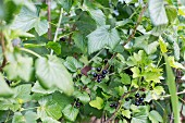 Black Currants at Bush